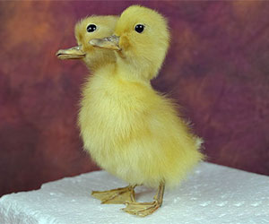 Mature,taxidermy two head freak duckling